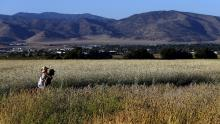 Jon Hammond and Kim Durham walk in a field of Sonora wheat at Weiser Family Farms in Tehachapi. Hammond is co-founder of the Teh